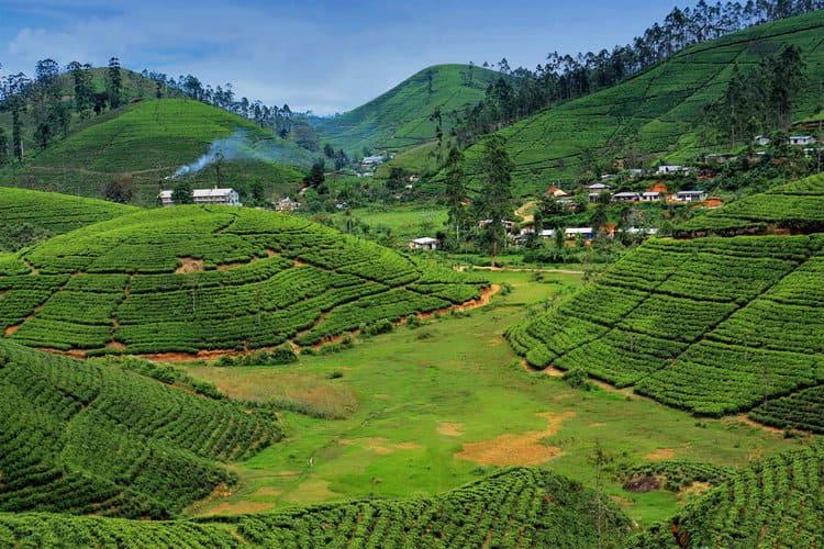 прогулка по чайным плантациям Шри-Ланки